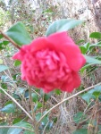 camelias bloom in December