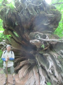 towering roots