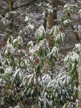 snow on rhododendrons