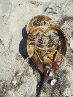 horshoe crabs
