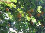 Sorolla's orange tree