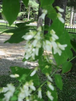 American Yellowwood (Cladrastis Kentukea)