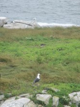 black-backed gulls