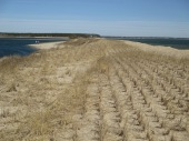 dune grass plugs
