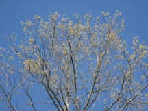 blue sky, tree buds