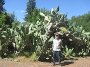 huge prickly pear cactus